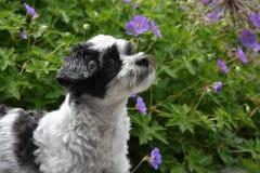Cão moggy pequeno bonito observando algo imagens de stock royalty free