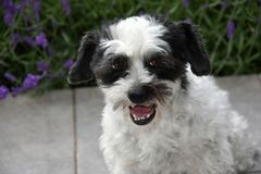 Cão moggy pequeno bonito observando algo e cascas imagem de stock