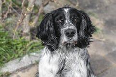 Cão molhado bonito que olha na câmera Fotos de Stock