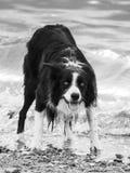 Cão molhado de border collie pela praia que tem o divertimento imagens de stock royalty free