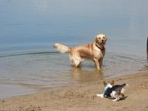 Cão molhado de labrador retriever Foto de Stock