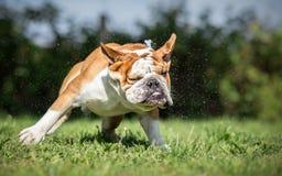 Cão molhado do buldogue inglês fotos de stock