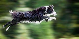 Cão molhado do collie de beira no meio do ar fotografia de stock