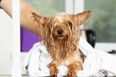 Cão molhado em uma toalha fotografia de stock