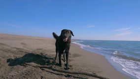 Cão molhado preto que fica perto de uma vara de madeira na linha de mar em Montenegro filme