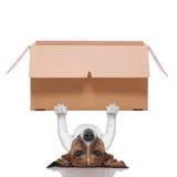 Cão movente da caixa Imagem de Stock Royalty Free