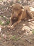 Cão muito bonito Fotografia de Stock