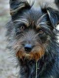 Cão muito Shaggy 9 Foto de Stock Royalty Free