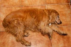 Cão muito velho Fotos de Stock Royalty Free