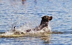 Cão na água imagem de stock royalty free