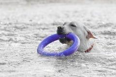Cão na água Foto de Stock Royalty Free