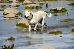 Cão na água com rochas do rio Imagens de Stock Royalty Free