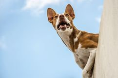 Cão na borda da parede Foto de Stock Royalty Free