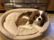Cão na cama Imagem de Stock Royalty Free