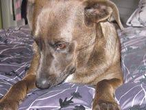Cão na cama Fotografia de Stock Royalty Free