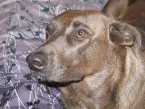Cão na cama Imagem de Stock