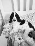 Cão na cama Foto de Stock Royalty Free