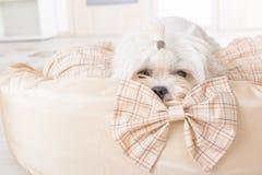 Cão na cama do cão Fotografia de Stock Royalty Free