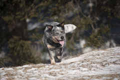 Cão na caminhada Fotos de Stock
