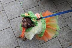 Cão na celebração do dia do ` s de St Patrick em Moscou Imagem de Stock Royalty Free