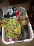 Cão na cesta de lavanderia Fotos de Stock