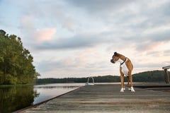 Cão na doca no nascer do sol Imagem de Stock Royalty Free
