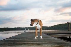 Cão na doca no nascer do sol Foto de Stock