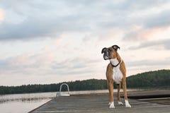 Cão na doca no nascer do sol Imagens de Stock