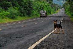 Cão na estrada Foto de Stock Royalty Free