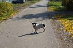 Cão na estrada Imagem de Stock