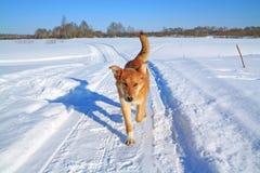 Cão na estrada do inverno fotografia de stock royalty free