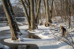 Cão na floresta ao lado de um rio congelado fotos de stock