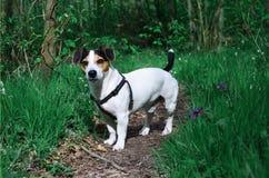 Cão na floresta da mola Imagens de Stock Royalty Free