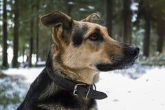 Cão na floresta do inverno Fotos de Stock Royalty Free