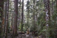 Cão na floresta no por do sol, no Ordesa e no Monte Perdido National Park fotografia de stock