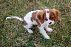 Cão na grama Imagens de Stock Royalty Free