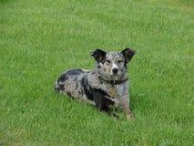 Cão na grama Foto de Stock Royalty Free