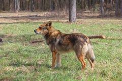 Cão na madeira Foto de Stock Royalty Free