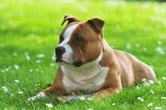 Cão na margarida do whit da grama Fotografia de Stock