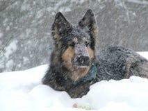 Cão na neve Foto de Stock