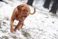 Cão na neve. Foto de Stock