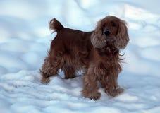 Cão na neve do inverno Fotos de Stock Royalty Free