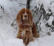 Cão na neve do inverno Foto de Stock Royalty Free