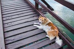 Cão na ponte de madeira sobre o rio na manhã com névoa e Fotos de Stock Royalty Free