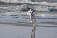 Cão na praia Imagem de Stock