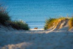 Cão na praia fotografia de stock royalty free