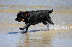 Cão na praia com uma vara Imagem de Stock