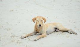 Cão na praia em Tailândia imagem de stock