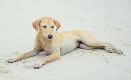 Cão na praia em Tailândia Fotos de Stock Royalty Free