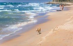 Cão na praia no fundo das ondas Imagem de Stock